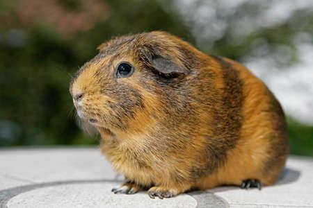 behold: portrait of a golden guinea pig