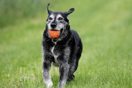 running older dog with red ball