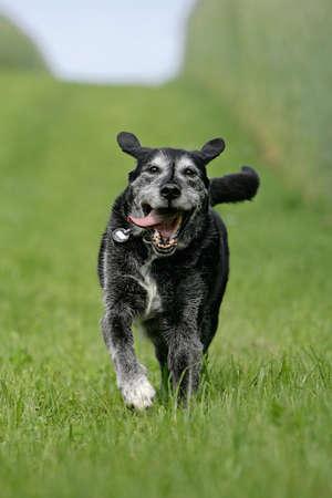 running old dog Banque d'images