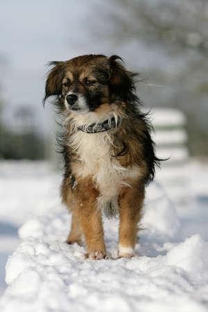 little diva dog standing  in snow