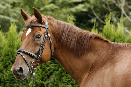 portrait of an American quarterhorse