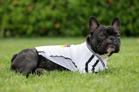 tricot: French bulldog dressed with a football shirt