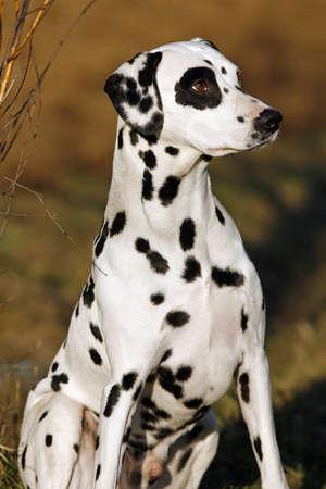 sitting dalmatian dog photo