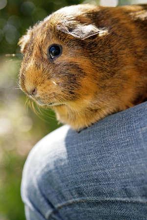 jaunty: guinea pig sitting on human legs Stock Photo