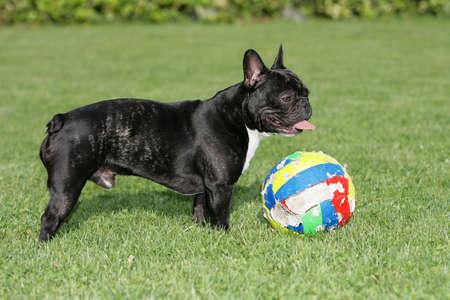 French bulldog playing ball Stock Photo - 7796386