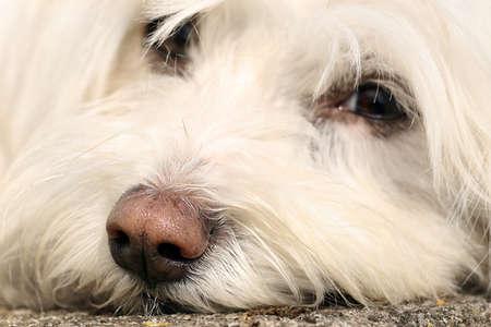 portrait of a Maltese dog Stock Photo