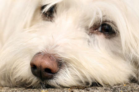 portrait of a Maltese dog Stock Photo