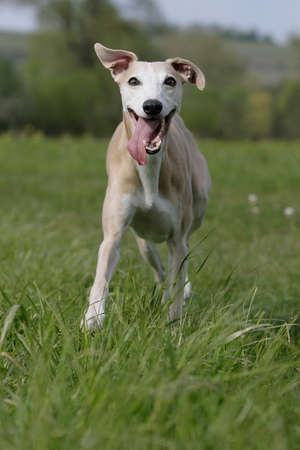 running whippet  photo