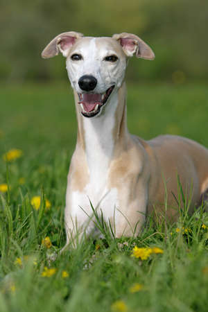 behold: smiling whippet