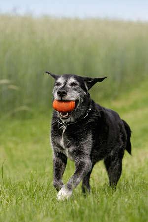 older dog playing with dog-toy photo