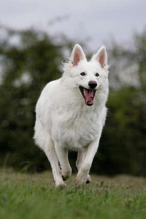 white shepherd dog: cane pastore bianco in esecuzione