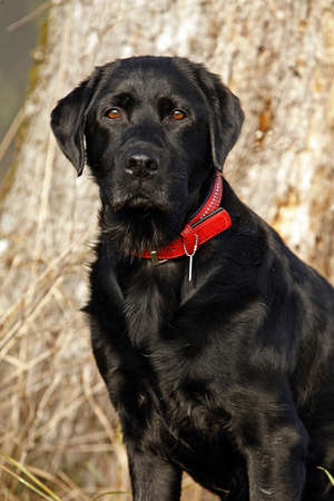 perro labrador: perro negro Labrador de retriever
