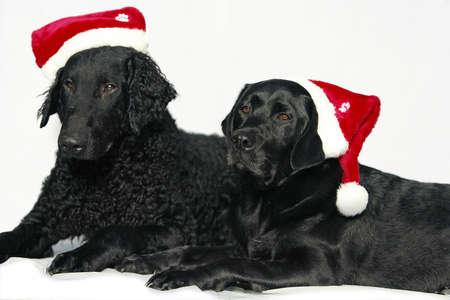 Retriever dogs with christmas caps photo