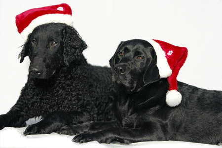 cap hunting dog: Retriever dogs with christmas caps