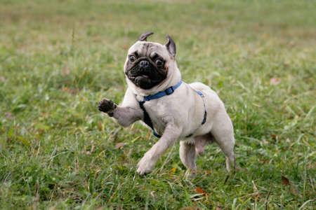 wild running blond pug
