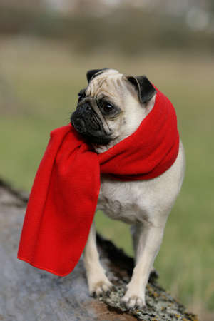 behold: blond pug with red scarf Stock Photo