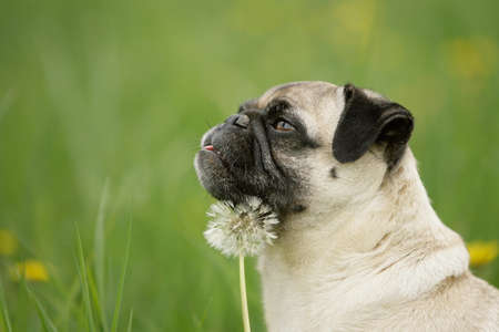 blond pug with flower Stock Photo