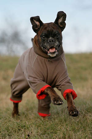 running bGerman boxer dog in wintertime dressed with a jacket photo