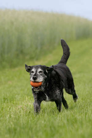 running old dog with dog-toy