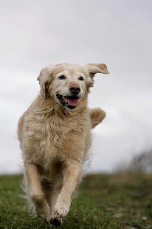 mujer perro: golden retriever perro en ejecuci�n