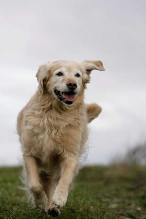 run down: running golden retriever dog