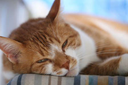 tired red cat