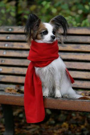 dressed papillon dog