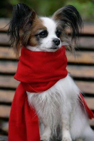 sweet papillon dog Banque d'images