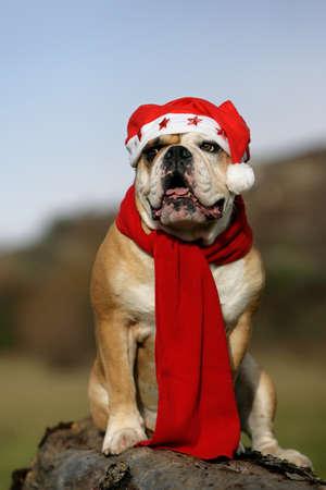 Continental bulldog dressed like Santa Claus