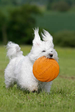 white dog with disc