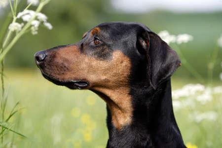 portrait of a doberman dog Banque d'images