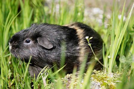 behold: guinea pig sitting in grass