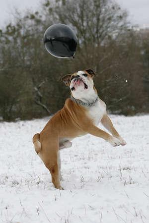 bulldog jumping in snow
