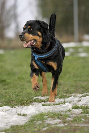 walking Rottweiler dog photo