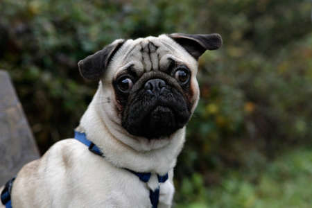 cute young pug photo