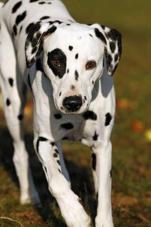 running Dalmatian dog photo