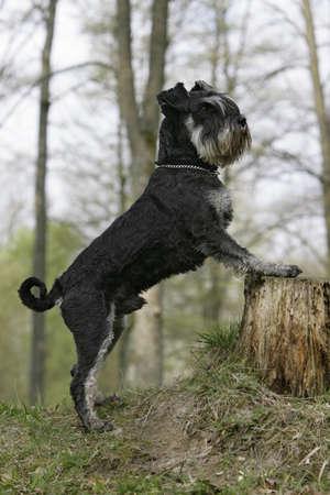curious schnauzer dog