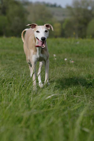 running whippet dog photo