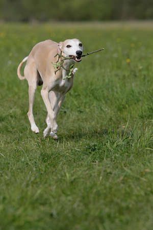 proud whippet dog photo