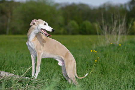 smiling whippet dog