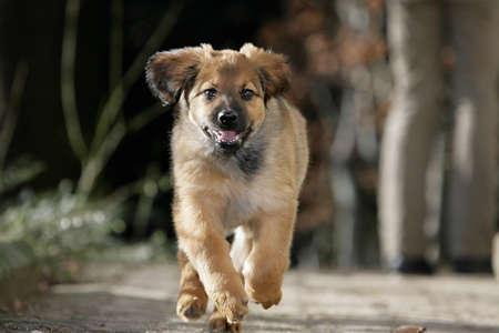 running Hovawart puppy