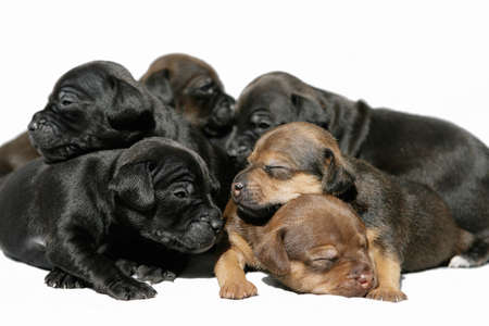 snuggling: snuggling group Patterdale terrier puppies 6 week old Stock Photo