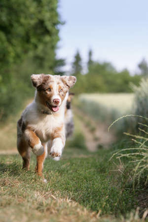 australian animal: ejecuci�n puppy