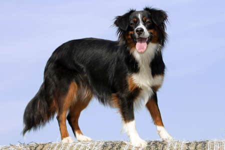 Miniature Australian shepherd dog photo