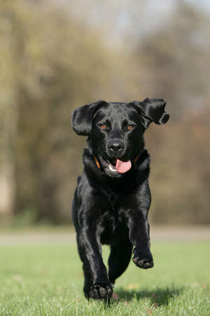 running black Labrador retriever dog