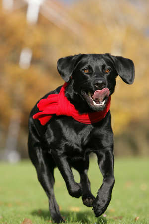 red scarf: running black Labrador dog with red scarf