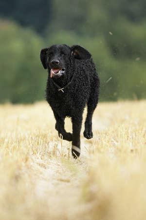 running curly coated retriever dog photo