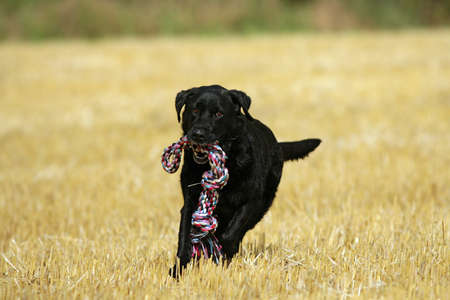 black Labrador with dogtoy photo