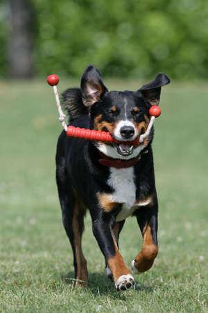 appenzeller: Appenzeller dog