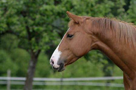 quarter horse: American quarter horse